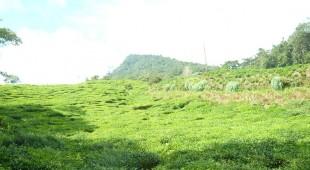 Teeanbau Kolumbien